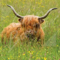 Highland Cow in meadow Greetings Card (CB)