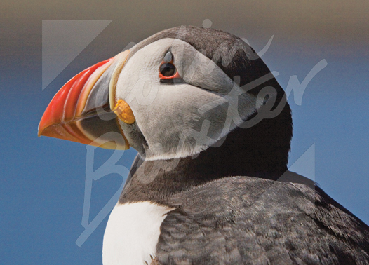 Atlantic Puffin 2 Magnet (H CB)