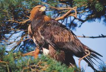 Golden Eagle & Scots Pine Postcard (H Std CB)