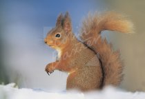 Red Squirrel Postcard (H Std CB)