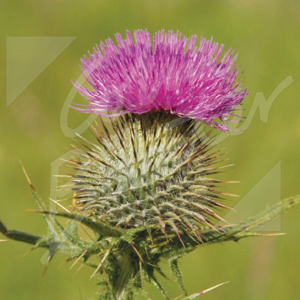 Scottish Thistle Greetings Card (CB)