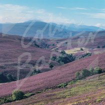 Heather Moorland, CNP Greetings Card (CB)