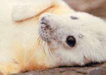 Grey Seal Pup Magnet (H CB)