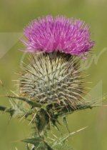 Scottish Thistle Magnet (V CB)